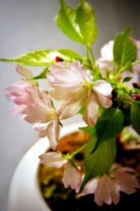 桜の鉢植え