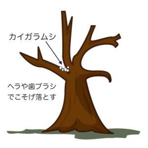 桜の病害虫 カイガラムシ