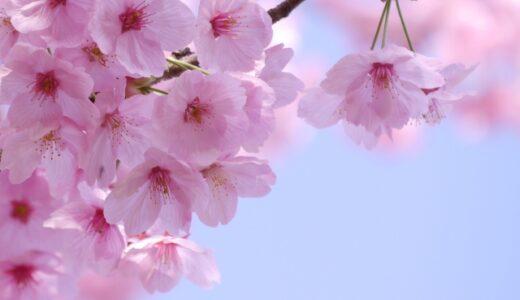 桜の植え替えまとめ!時期や土、鉢植えの場合はどうする?