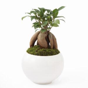 白い丸鉢に苔で植えられた盆栽風のガジュマル