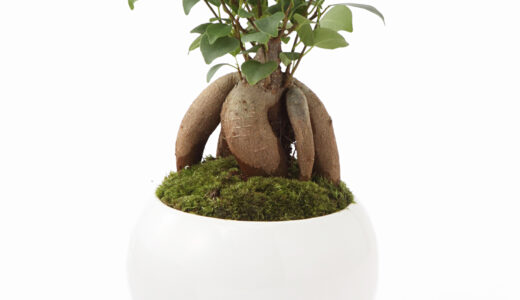 ガジュマル盆栽の作り方・仕立て方!鉢植えの選び方、手入れは?