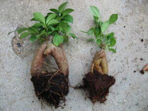 ガジュマルの葉と根