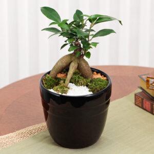 セラミスで植えられた盆栽風ガジュマル