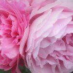 バラの季節・開花時期はいつ?見頃を四季ごとにまとめ!