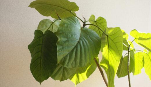 ウンベラータの葉が落ちる!夏冬それぞれの原因と対策方法!