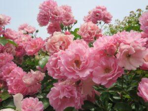 バラの咲く季節 四季