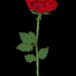 バラ(薔薇)の花言葉!本数と色別(赤,紫,オレンジ等)の意味まとめ!