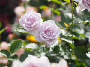 バラの見頃 季節