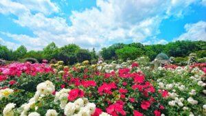 バラの咲く季節 見頃