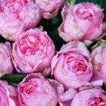 バラの剪定方法まとめ!時期、夏冬の手順・コツの違いは?