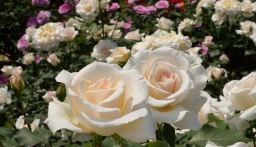 バラの病気対策まとめ!葉が枯れるのを防ぐ予防法と症状別の原因は?